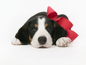 puppy-wearing-red-bow