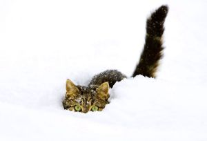 The Norwegian Forest Cat is a breed adapted to a very cold climate.