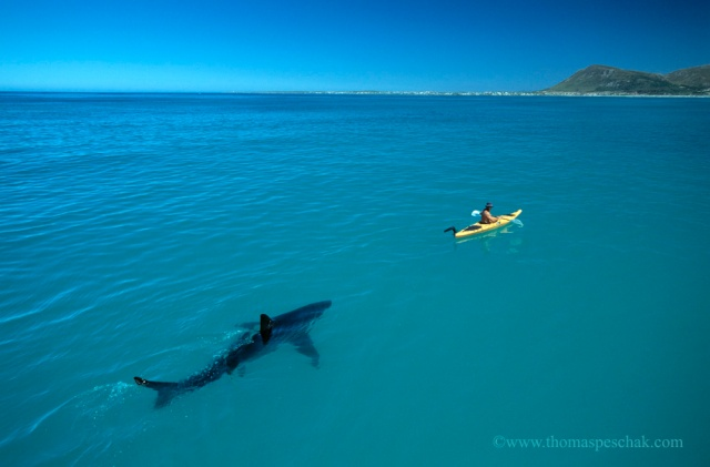 Kayaking with Great White Sharks