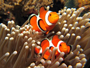 Nemo Clown Fish