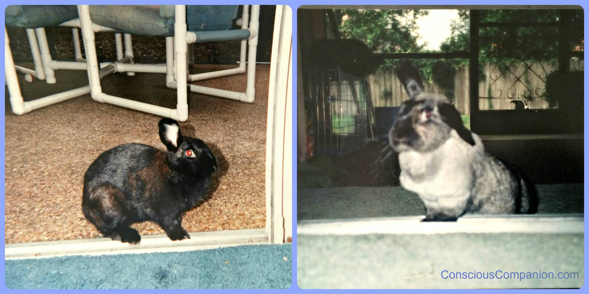 Starch, our family rabbit lived for over a decade! She was loved dearly, but  she was a handful to say the least!