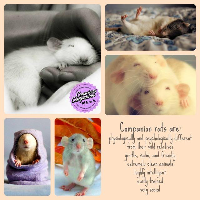 Companion Rats