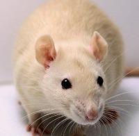 sandy rat