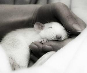 Rat in hand