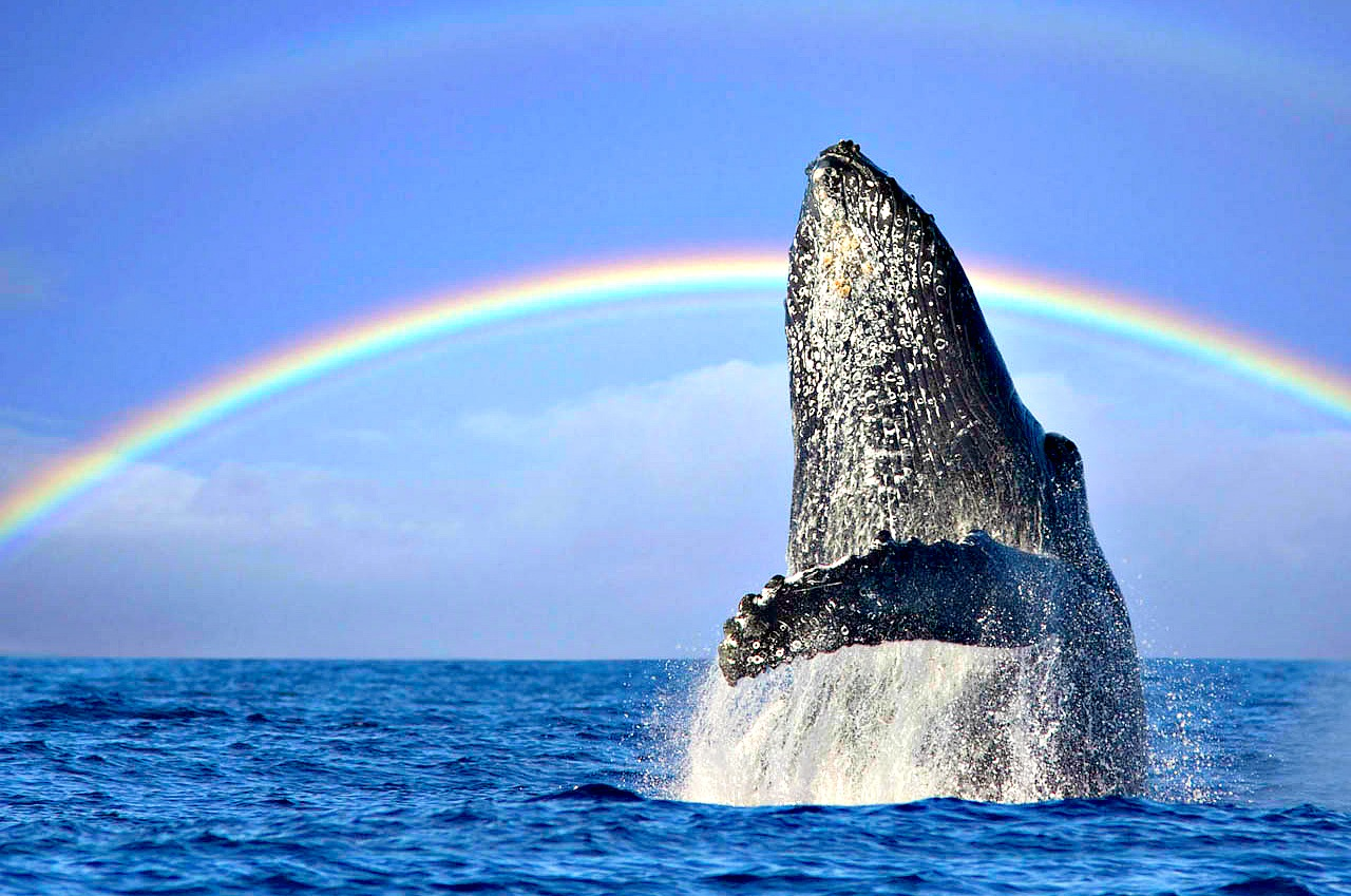 """saving the humpback whale from extinction A humpback whale breaches in australia's hervey bay  removing their """" threatened"""" designation entirely, would give hope to other conservation efforts   to the point where taking them off an endangered species list can even be  considered,."""