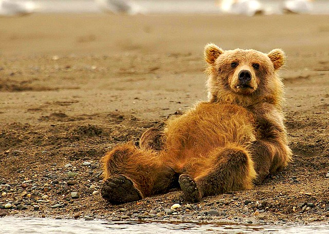 Lazy Grizzly Bear Pesticide – conscious companion