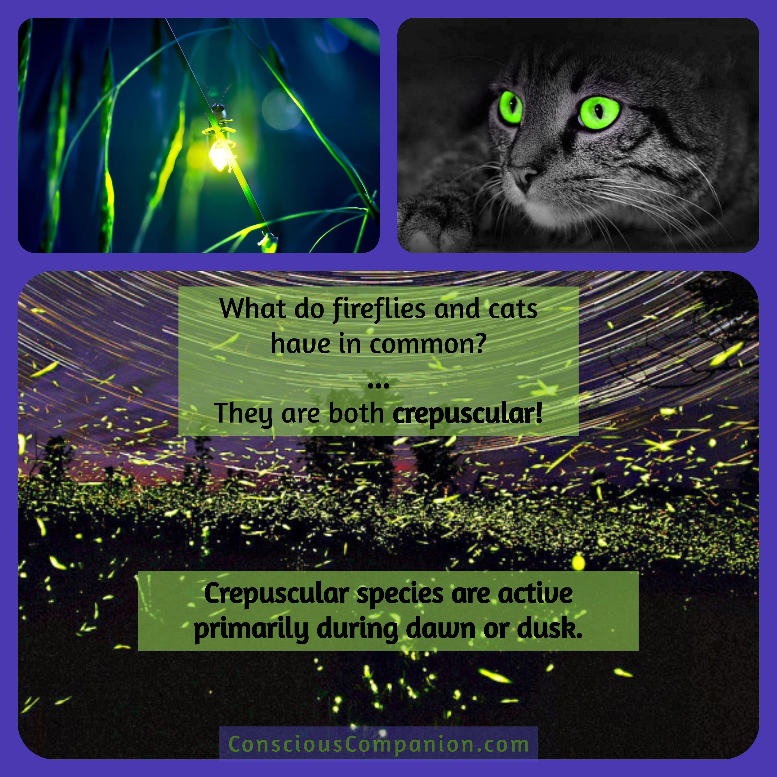 Cats_crepuscular_not nocturnal_dusk dawn animal activity_why does my cat_cat behavior_cat wakes up