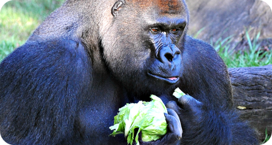 Casey, our male silverback Western Lowland Gorilla, enjoying his breakfast on exhibit at the Audubon Zoo.  I wonder if he's purring here.