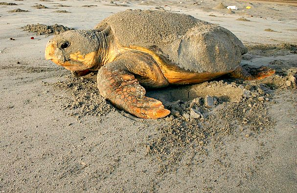 Loggerhead sea turtle beached and preparing to lay her eggs