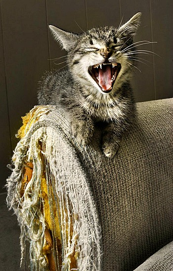 cat scratcing furniture