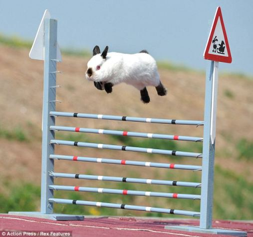 Rabbit Agility Has Become a Very Popular Sport!