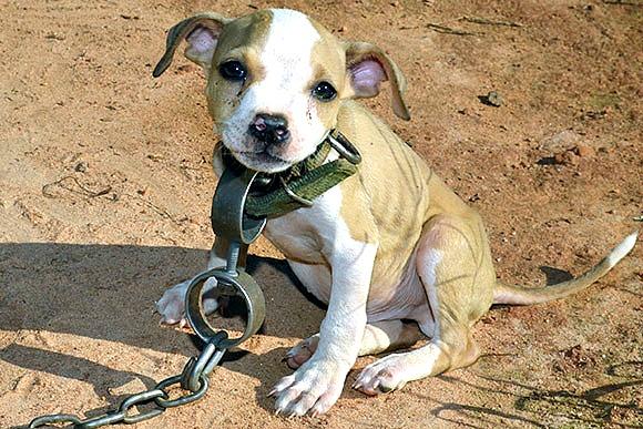 Pit bull – Conscious Companion - photo#13