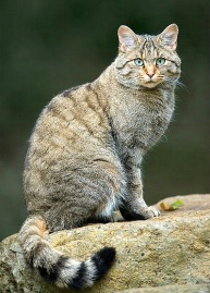 A genetic study in 2007 revealed that domestic cats are descended from African wildcats (Felis silvestris lybica). I had the honor of working very closely with this species in captivity at the Audubon Zoo
