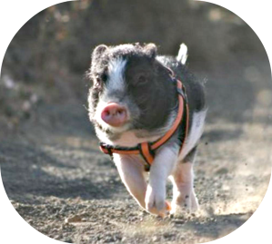 Portly Piggies Need Exercise Too!