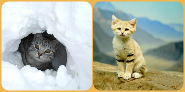 wild cats desert and snow