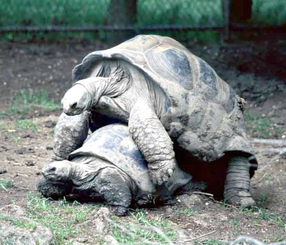 This is Obsidian and Feldspar, our former breeding pair of threatened Aldabra tortoises at the Audubon Zoo.   During breeding season you could hear Feldspar's mating sounds from the other side of the zoo.  Obsidian unfortunately died at a very early age of 30 due to over calcification, but Feldspar remains happy and healthy at the ripe age of 80 years young.  If he could talk, he would give thanks to the endless supply of nutritious foods and supplements, appropriate medical care and husbandry, human affection, and an obsession of female Aldabra tortoises.