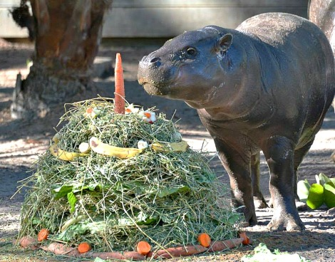 "Zola the pygmy hippo calf  turned 1 and enjoyed her birthday ""cake"" at the Lowry park Zoo this past  weekend."