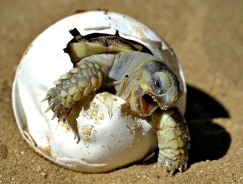 """RAWR!!""  This is an African spurred tortoise (Geochelone sulcata) hatching.  It's hard to believe that a hatchling the size of a golf ball will grow to be  over 150 pounds and 150 years of age!"