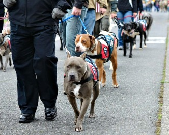 Certified Northwest Battle Buddies Dogs walking with their Veteran guardians in the Veteran's Day Parade.   Photo by Waz-Mix Pix