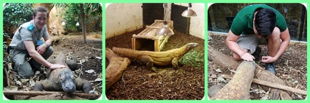 komodo dragon training reptile force free training and enrichement