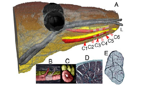 Fry used a medical MRI scanner to analyse the preserved head of a dead Komodo dragon and found that it has two long venom glands, running down the length of its jaw. They are the most structurally complex venom glands of any reptile. Each consists of six compartments, with ducts leading from each one to openings between the teeth.