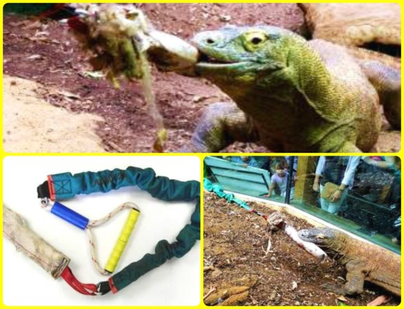 """Raja enjoying a game of Tug with keepers. This was a specially made """"Tug Toy"""" safe for the handler and Komodo"""