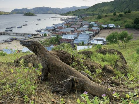Photo by National Geographic An adult Komodo dragon enjoys the view near Indonesia's Komodo village.