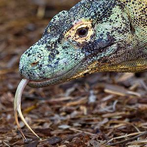 The Komodo dragon isn't a filthy, bacteria laden creature, as people believe. They are clean animals that are highly intelligent.