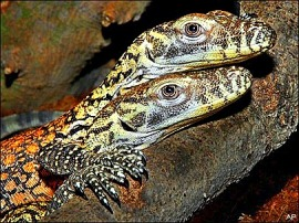 Komodo dragons hatched in AZA zoos  are giving a small boost to their endangered population.
