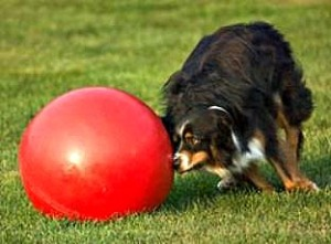 "The BoomerBall ""Herding Ball"" is designed for herding dogs (Shetland Sheep dogs, Australian Cattle dogs, Australian Shepards and Aussies). It's also great for horses when 3.5"" holes are added so hay can be stuffed into ball."