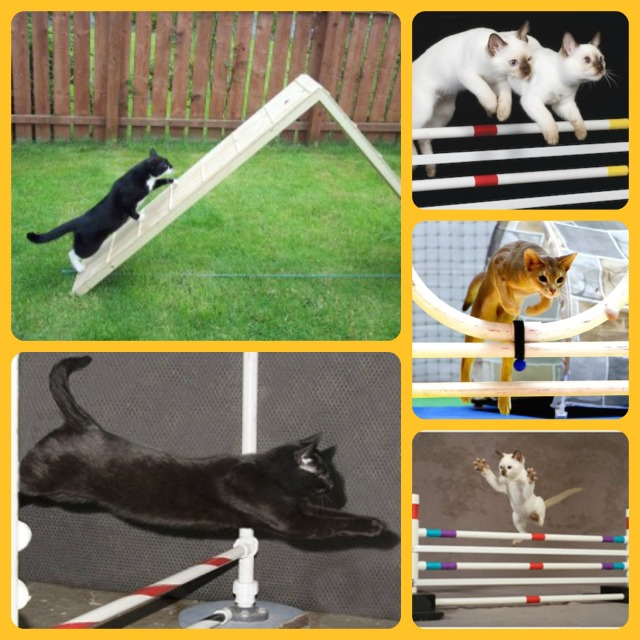cat tricks cat agility training
