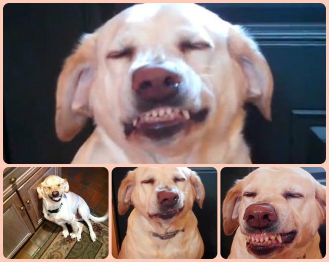 dog guilt _dog shaming _Guilty dog