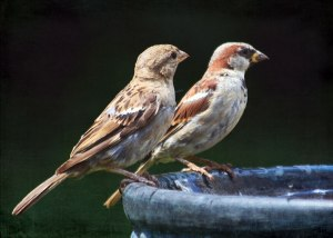 Although often considered a nuisance species and an agricultural pest, the House Sparrow has proven well-suited for studies of general biological problems such as evolutionary mechanisms, temperature metabolism, and pest control.