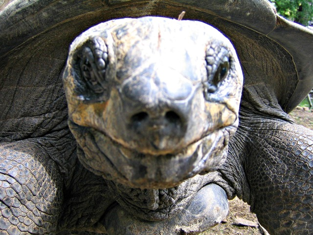 """Don't judge me by my appearance. I am much smarter than you realize."" ~ The nearly 100 year young Aldabra Tortoise, Magma"
