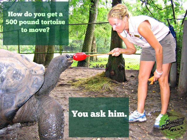 ALDABRA TRAINING_tortoise training _Audubon Zoo_turtle target training
