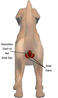 All predators, whether they are canines or felines in the wild or skunks in your backyard, have anal glands. They just use them differently. . In dogs and cats, every time a stool is passed, it should put enough pressure on the anal glands that some of the secretion is deposited on the surface of the stool. Other dogs and cats are then able to tell who has been in the neighborhood, just by sniffing the stools they find. Additionally, dogs and cats recognize each other by smelling each other in the general area of the anus, since each animal's anal glands produce a unique scent.