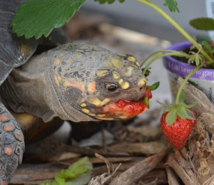 What better way to a tortoises heart than through a strawberry??