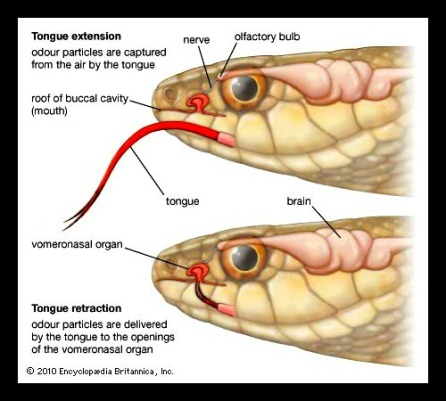 Snakes use their Jacobson's Organ to detect pheromones in their environment, similarly to how dogs do!