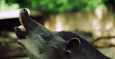 Tapir Tapirus_terrestris_flehmen