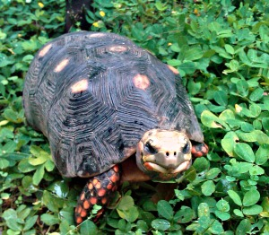 Red-footed tortoises are native to Central and South America. When placed in captivity, tortoises and turtles of all species need mental enrichment! Science is continually proving this!