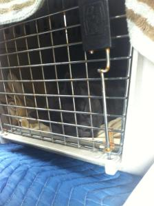 Spirit Essences helped Albert and the other cats to relax the entire 10 hour car ride!