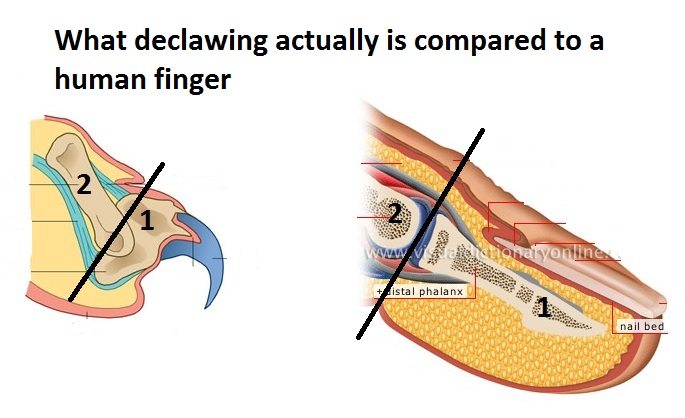 the issue on the declawing of cats in the united states The united states government should ban declawing due to the inhumane nature of the procedure onychectomy, commonly known as declawing, is an inhumane and counterproductive mutilation thousands of cats undergo each year in the us.