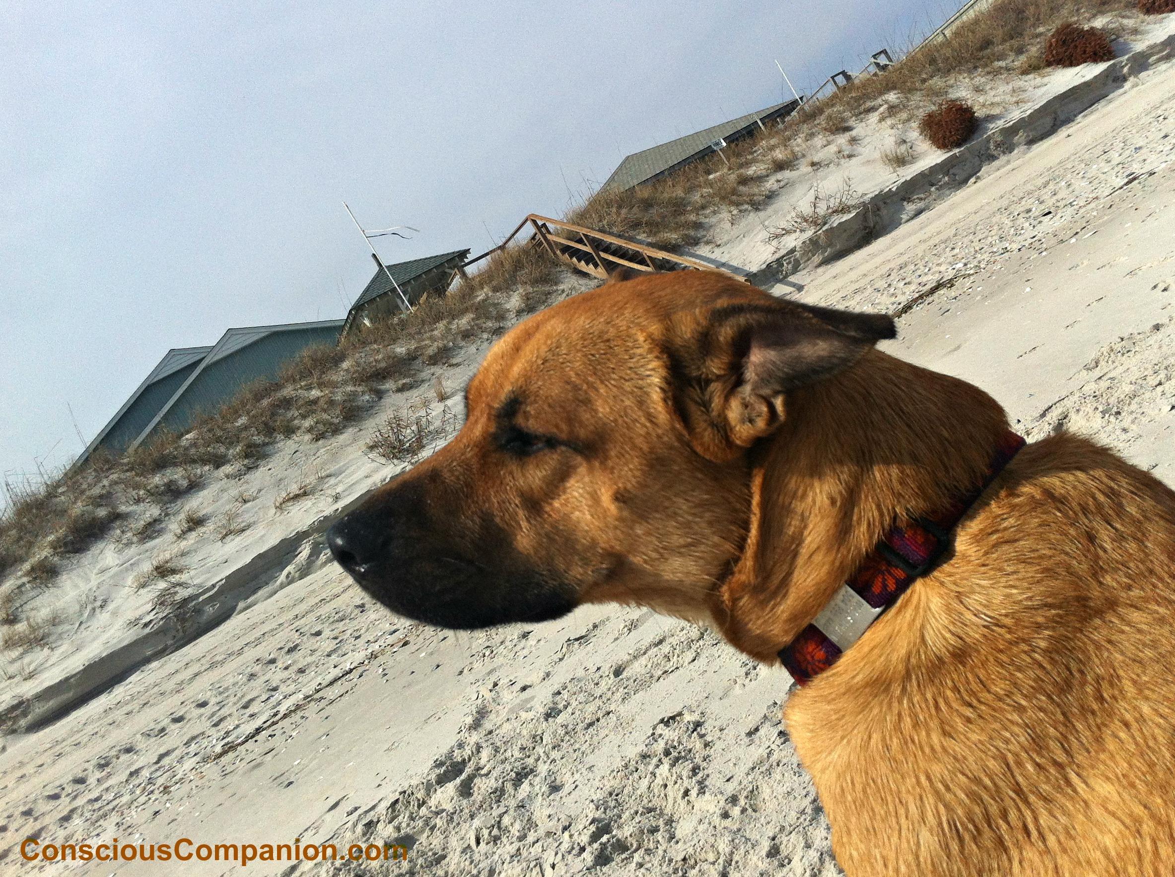 Hocus enjoying the sea,  sun, and sand back in North Carolina
