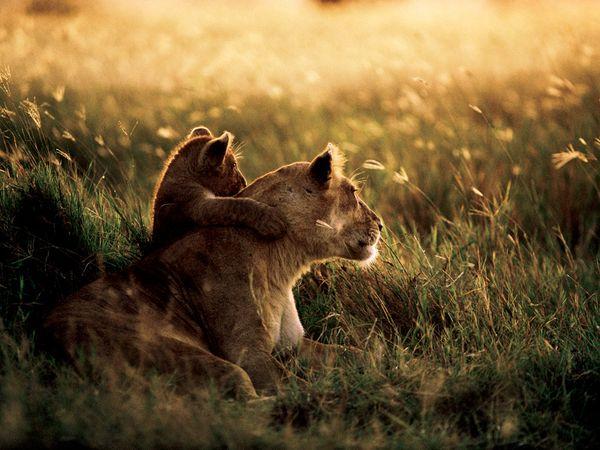 Cecil lion cubs pride