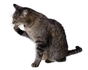 displacement behavior cats