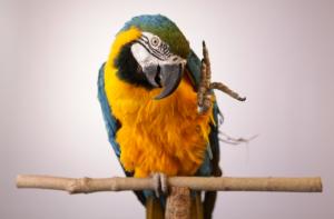 parrot behavior