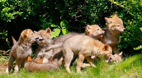 coyote-pups2