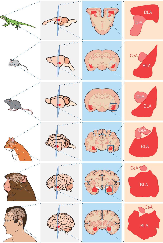 animal brain