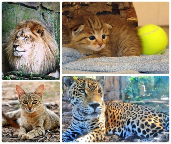 Big cats_exotic cats_conscious Companion_amy martin