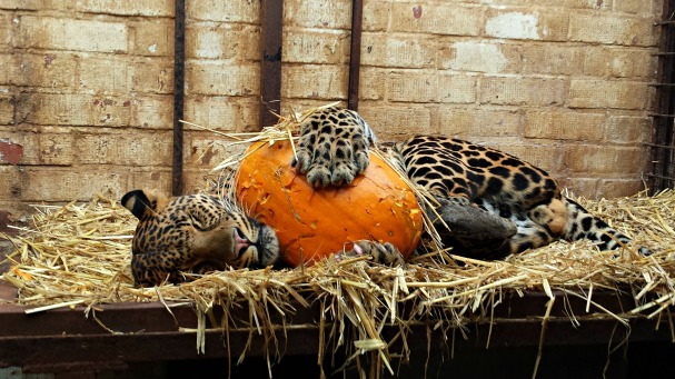 cat enrichment _big Cats